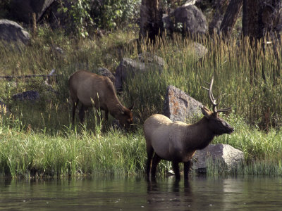 Moose in Yellowstone River, Yellowstone National Park, WY Photographic Print by Bruce Clarke