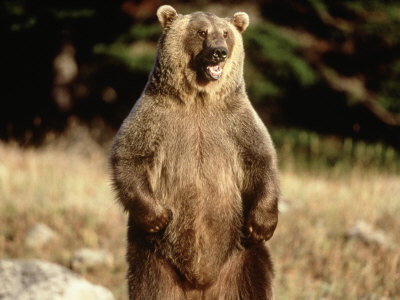 Grizzly Bear Standing in Field Photographic Print