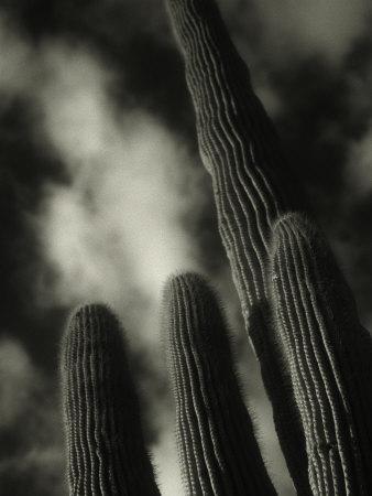 Saguaro Cactus, Kofa Nwa, AZ Photographic Print by David Wasserman