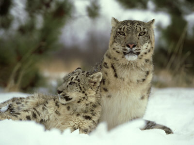 snow leopard cubs in snow