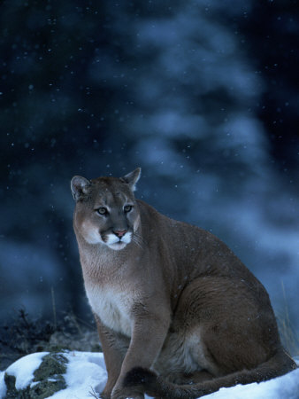 Mountain Lion in Snow, Felis Concolor, MT Lámina fotográfica