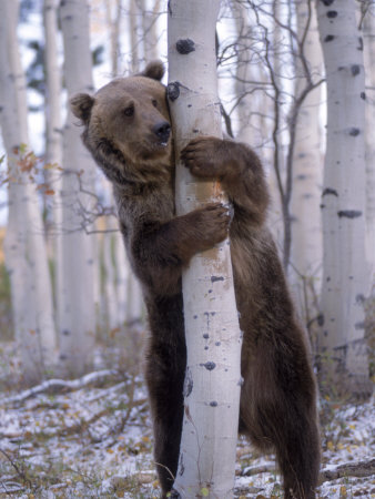 Grizzly Bear Grabbing Tree, North America Photographic Print by Amy And Chuck Wiley/wales