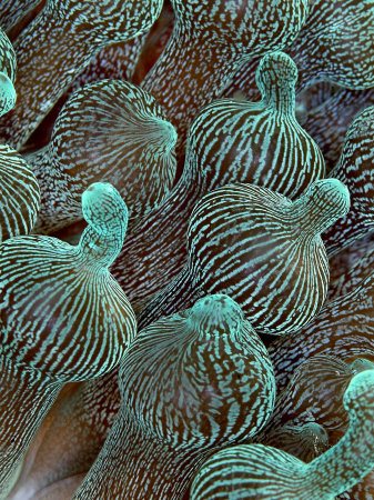 Sea Anemone Detail, Komodo, Indonesia Photographic Print by Mark Webster