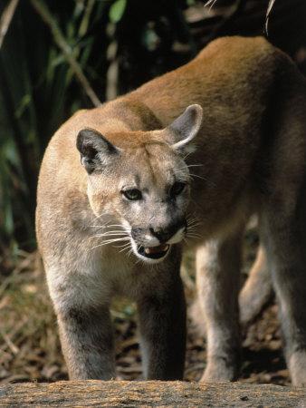 Florida Panther (Felis Concolor), FL Photographic Print by Elizabeth DeLaney