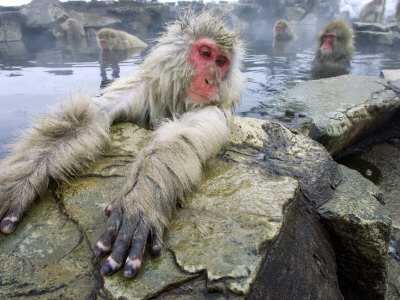 Japanese Macaques or Snow Monkeys, Adult in Foreground with Arms Extended on Rock, Honshu, Japan Fotografisk trykk
