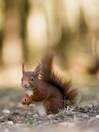 Red Squirrel, Sat on Ground in Leaf Litter, Lancashire, UK Fotografisk tryk af Elliot Neep