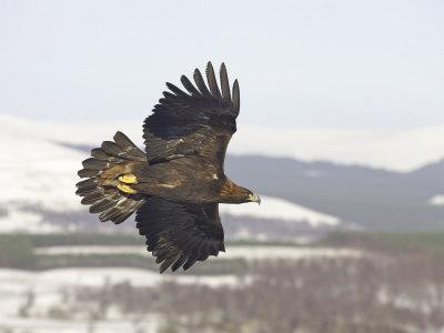 golden eagle in flight. Golden Eagle, Adult in Flight,