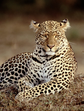 Leopard, East Africa Photographic Print by Elizabeth DeLaney