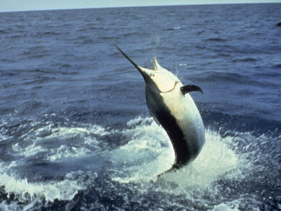 Swordfish Leaping in the Ocean Photographic Print by Katie Deits