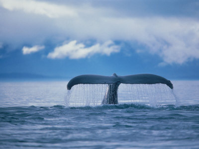 Humpback Whale Tail Photographic Print by Stuart Westmorland