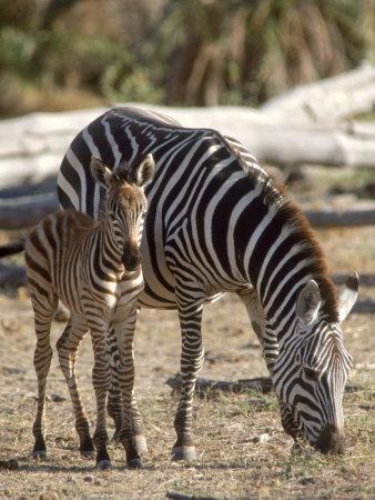 Zebra and Foal, Serengeti National Park, Tanzania Photographic Print by Elizabeth DeLaney