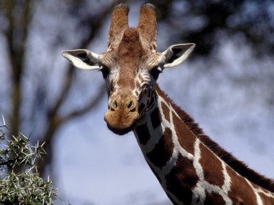 Reticulated Giraffe, Kenya Photographic Print by Elizabeth DeLaney