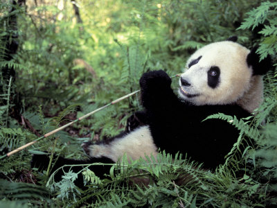 Giant Panda Feeding on Bamboo Leaves Photographic Print by Lynn M. Stone