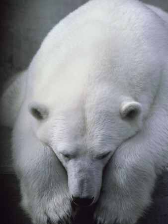 Polar Bear Lying Down Photographic Print by Stuart Westmorland