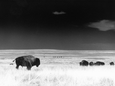 Buffalo Grazing, Buffalo Gap Nat Grassland, SD Photographic Print by John Glembin
