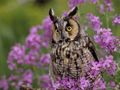Long Eared Owl Fotografie-Druck