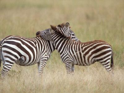Burchell's Zebras, Serengeti, Tanzania Photographic Print by Elizabeth DeLaney