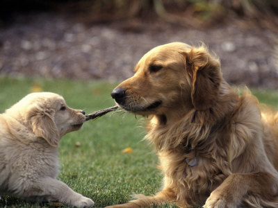 Golden Retriever Dog and Puppy Photographic Print by William Meyer