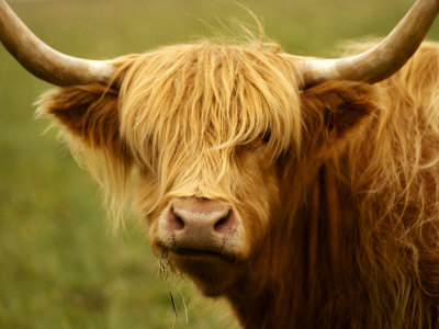 Long-Haired Cow, Scottish Highlands Photographic Print by Robert Houser
