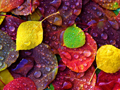 Multi-Colored Aspen Leaves with Rain Drop Fotografisk tryk af Russell Burden