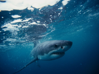 Great White Shark, South Africa Photographic Print by Stuart Westmorland
