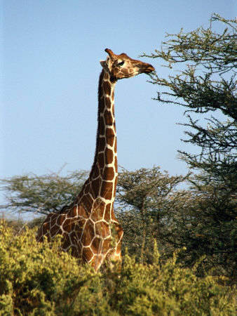 Reticulated Giraffe Eating Acacia, Samburu, Kenya ...