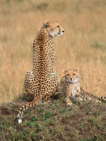 Cheetah & Cubs, Termite Mound, Masai Mara, Keny Photographic Print by Michele Burgess