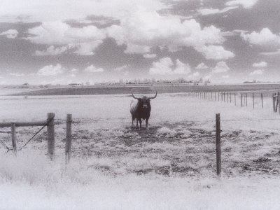 Longhorn Steer, CO Photographic Print by Chris Rogers