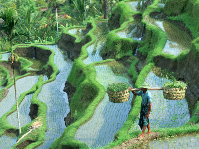 Man in Rice Paddies, Bali, Indonesia Photographic Print by Peter Adams