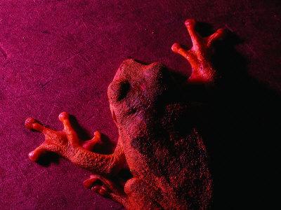 Costa Rican Tree Frog Photographic Print by Dan Gair
