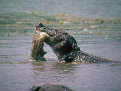Crocodiles Eating People