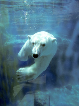 Polar Bear, Swimming Underwater, Quebec, Canada Fotografie-Druck