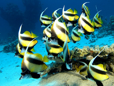 Banner Fish, St. Johns Reef, Red Sea Photographic Print by Mark Webster