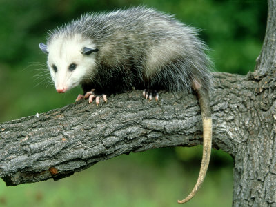 Opossum on Branch, USA Photographic Print by Mark Hamblin