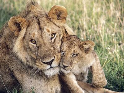African Lion, Masai Mara Reserve, Kenya Photographic Print by Richard Packwood