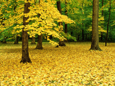 Maple Leaves and Trees in Fall Colour at Funks Grove, Il Lámina fotográfica por Willard Clay