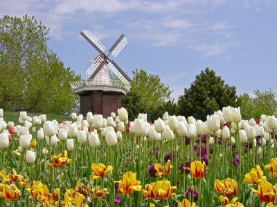Tulips In Holland. Mi, Holland Tulip Festival,