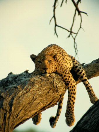 A Leopard Lounges in a Tree Fotoprint