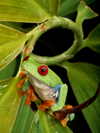 tree frog pictures. A Red-Eyed Tree Frog