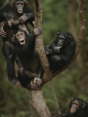 Social Climbers Sound off at a Chimp Klatch in a Tree Photographic Print
