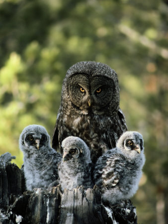 Female Great Gray Owl and Her Three Babies Photographic Print by Michael S. Quinton