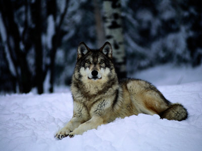 Gray Wolf Resting on New-Fallen Snow Fotografie-Druck