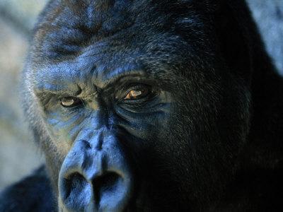 Close View of a Gorilla Fotografická reprodukce