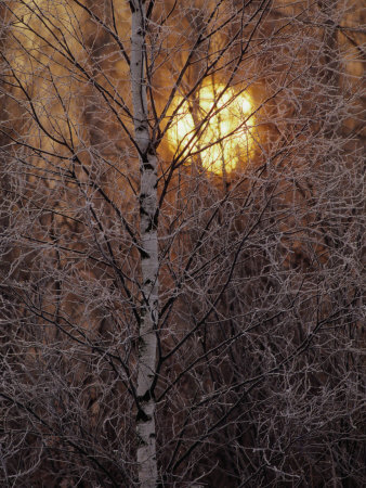 Frost-Covered White Birch Trees with the Sun Rising Behind Photographic Print
