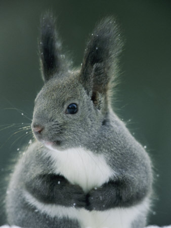 Tufted Ear Squirrel