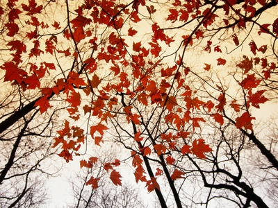 Bare Branches and Red Maple Leaves Growing Alongside the Highway Photographic Print