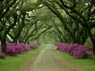 En smuk sti med træer og lilla azalaer langs kanten Fotografisk tryk