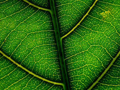 Close-up of a Leaf of the Extremely Rare Plant Alectryon Macrococcus Photographic Print