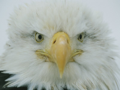 A Portrait of an American Bald Eagle Photographic Print