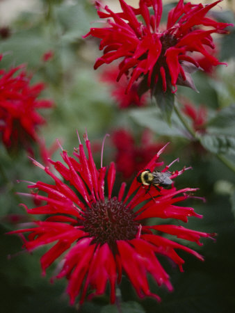 Bee Balm Plants, Whose Flowers Draw Hummingbirds and Bees Photographic Print